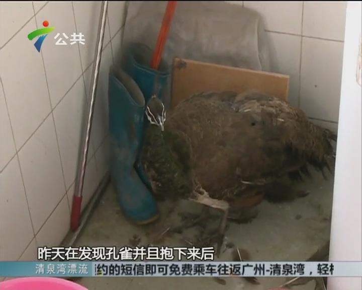 番禺:孔雀突然光临居民楼 街坊收留在家中