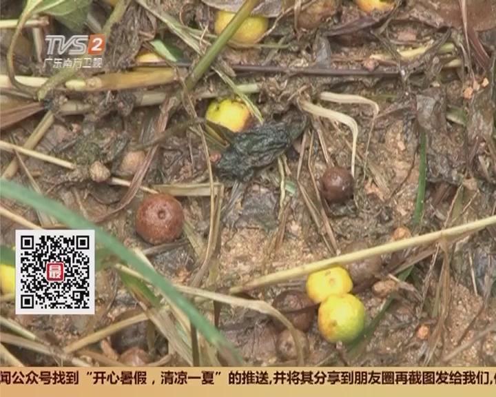 清远:沙塘桔大量落果 果农损失惨重