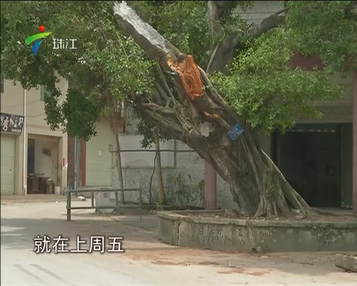 广州:老榕树被撞断枝 司机被索赔三十万?