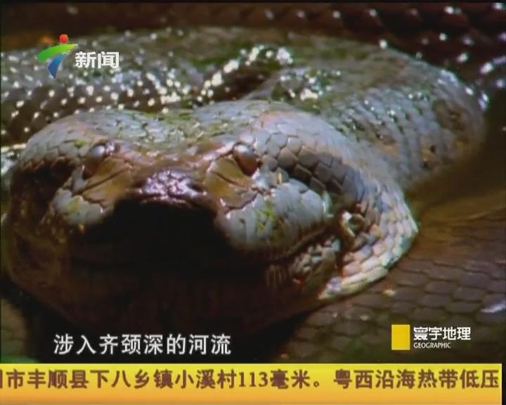 与蛇共舞 科苏梅尔岛蚺蛇