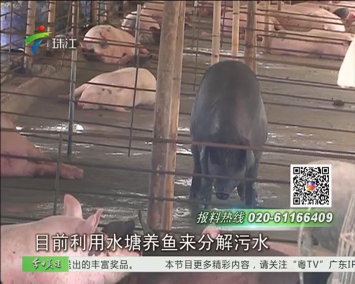 中山:养猪场乱排污 村民叫苦连天