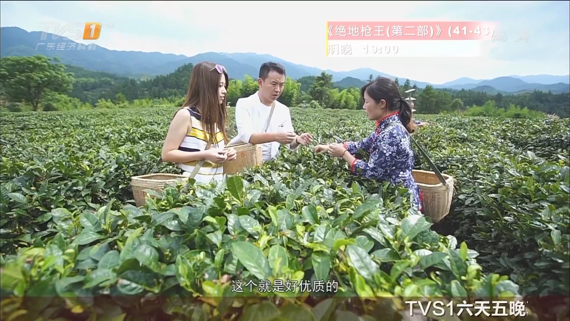 桂东——采茶园 玲珑茶