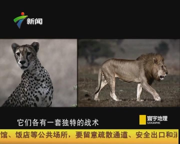 猎杀时刻 猎豹和狮子