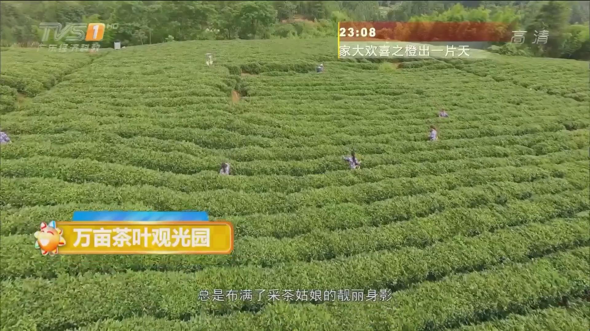 桂东——万亩茶叶观光园
