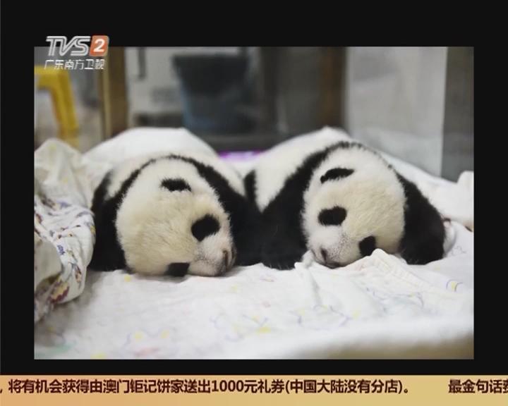 长隆野生动物园:熊猫再添双胞胎