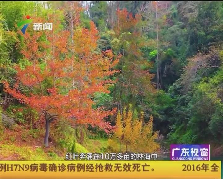 广州:来广州 赏枫叶