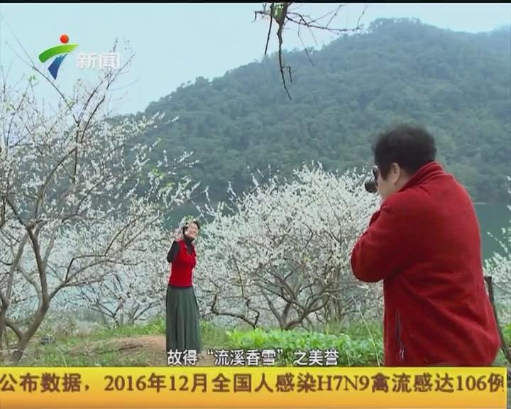 广州:千里地 梅花飘