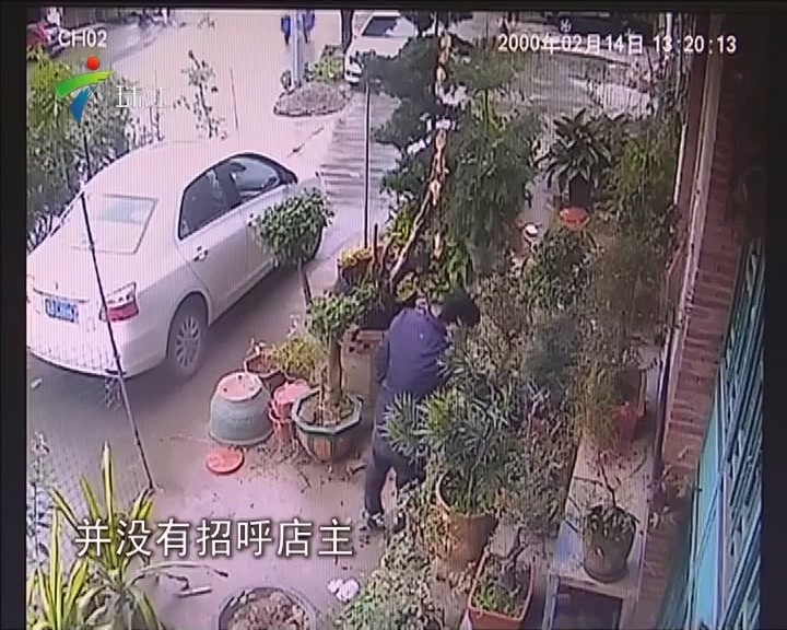 东莞:大胆蟊贼 光天化日下搬走罗汉松