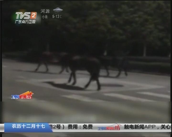 """中山:马路上有""""马匹""""闲逛 警方彻夜戒备"""