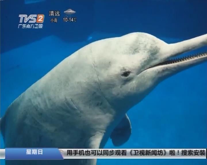 中华白海豚:珍稀中华白海豚 亮相科普教育基地