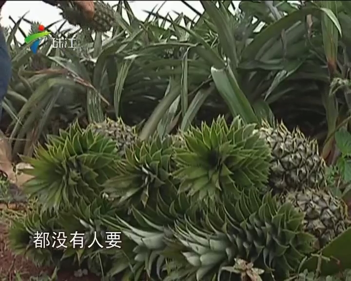 雷州:年底菠萝滞销 3毛钱一斤无人要