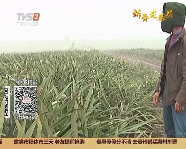 湛江雷州:三毛一斤无人要 菠萝滞销愁坏农户