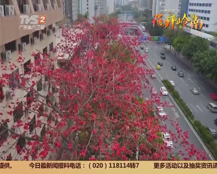 大型策划:花开岭南 粤江二月三月天 几树半天红似染