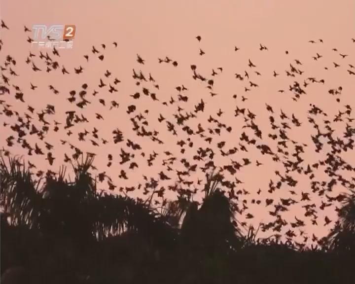 生态广东—湛江 万鸟归巢 蔚为壮观