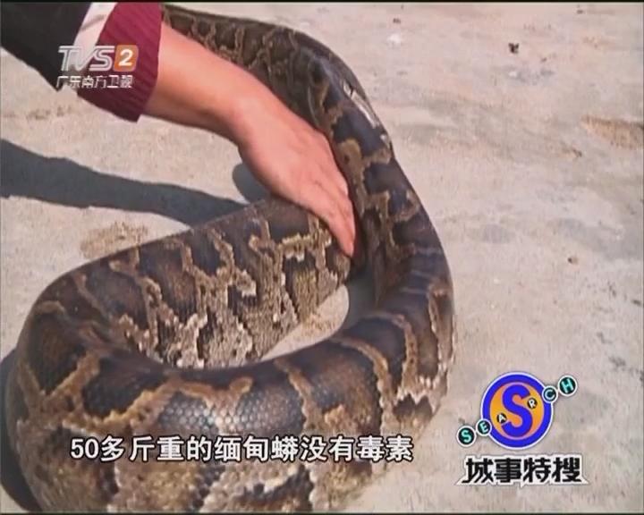 乍暖还寒 蟒蛇出没吓坏街坊