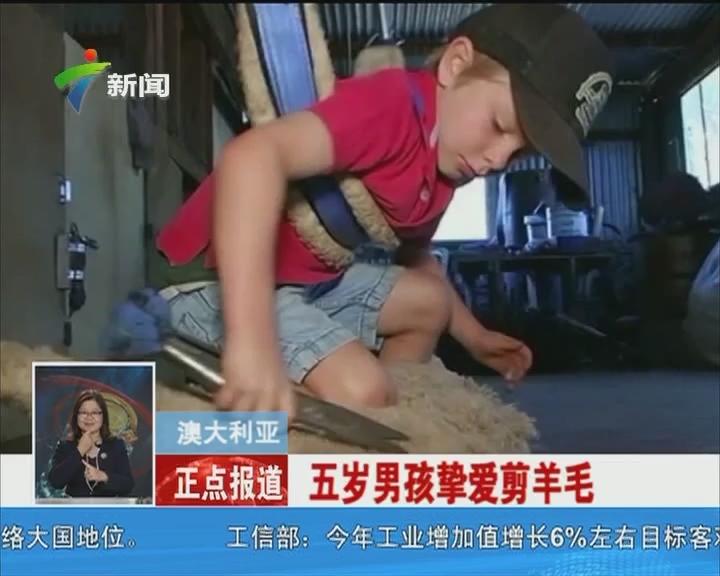 澳大利亚:五岁男孩挚爱剪羊毛