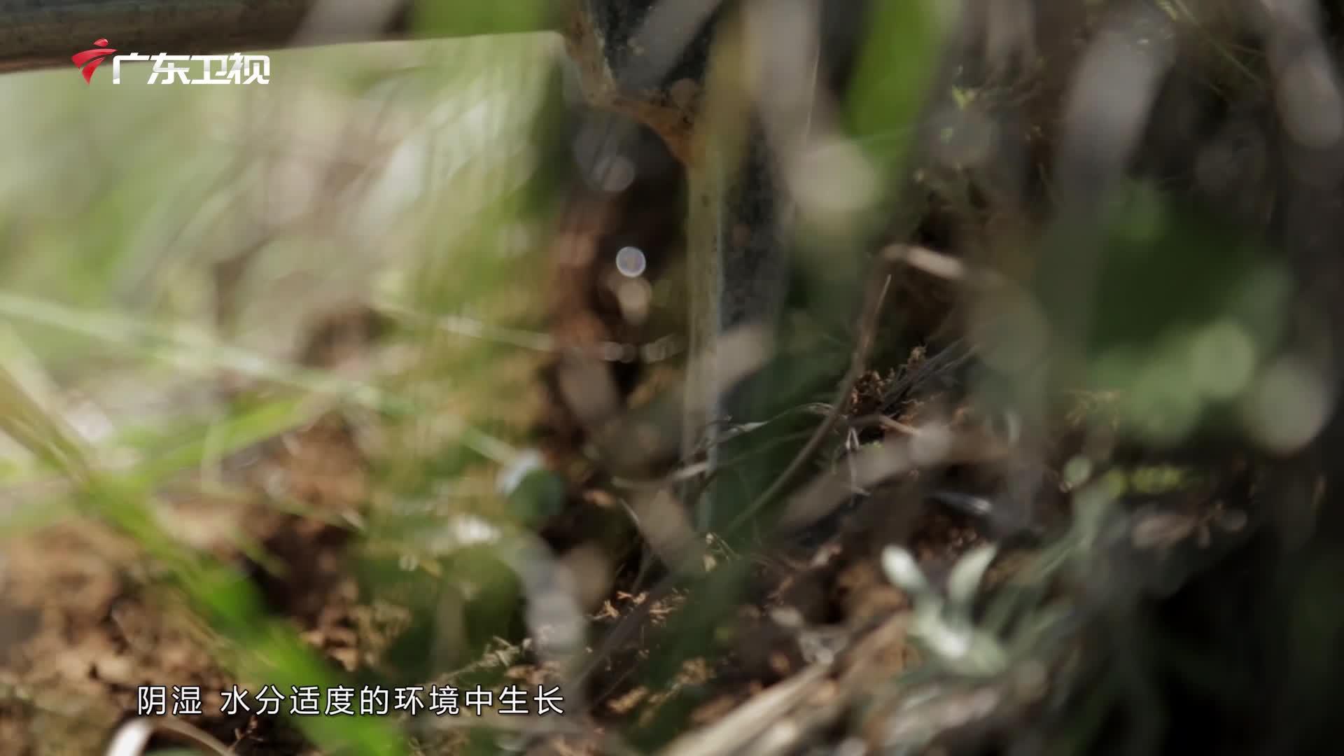 神草36味:七叶一枝花有何功效