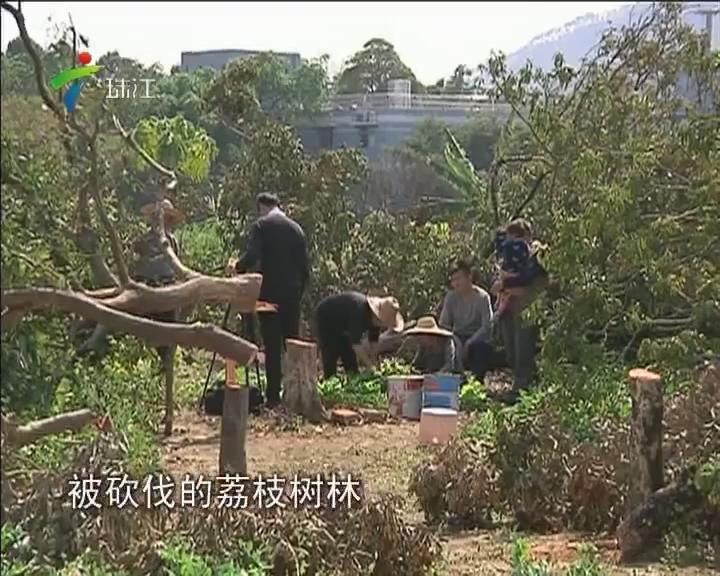 从化:荔枝树长达5年被偷砍 肇事者至今查不清
