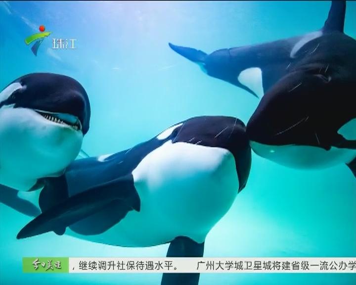 虎鲸食量惊人 日均50公斤进口鱼