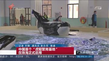 """中国首个""""虎鲸繁育基地""""在珠海正式启用"""
