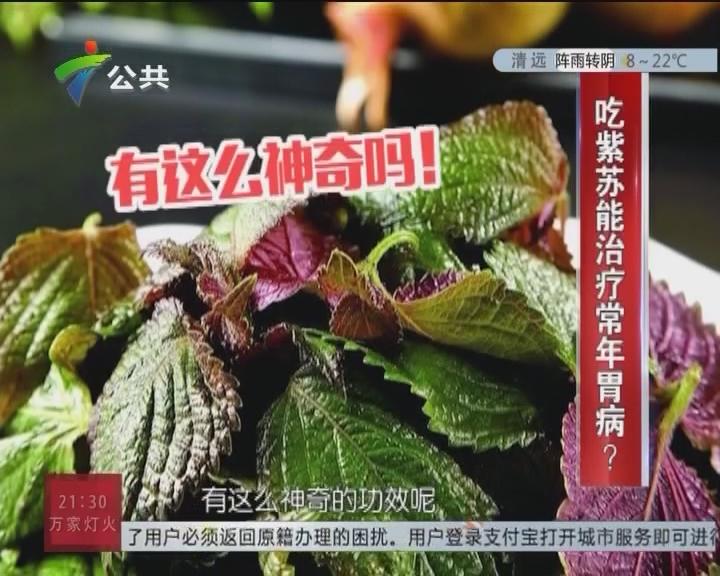 吃紫苏能治疗常年胃病?
