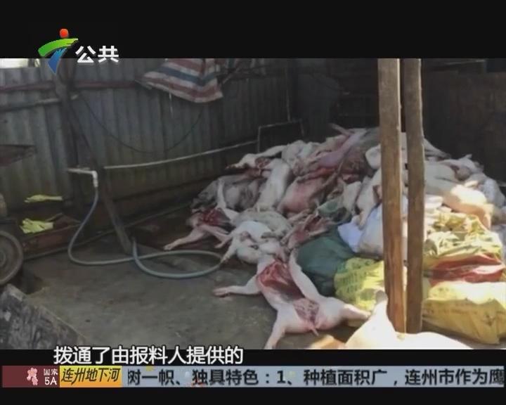 村民报料:处理厂偷卖死猪 臭味四散