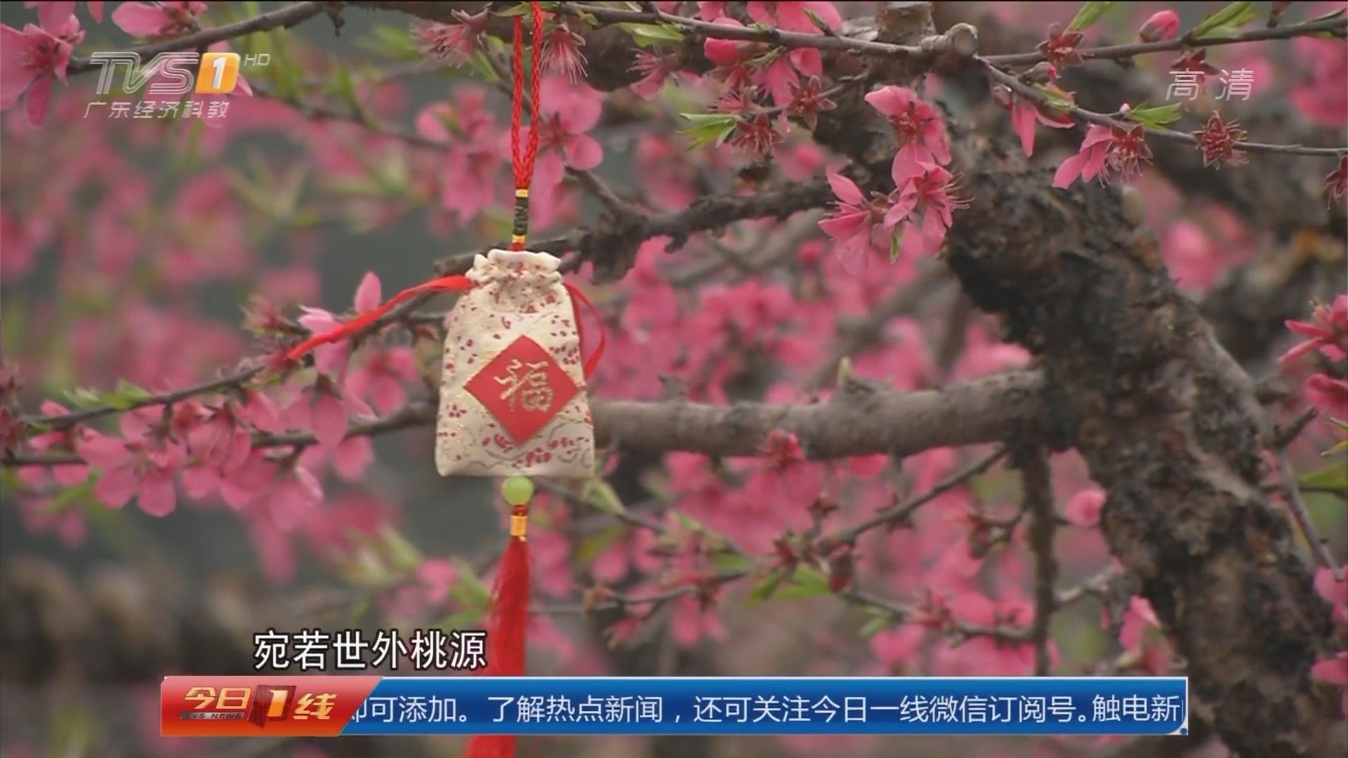 大型策划 花开岭南:清远连州 2017连州桃花节今日开幕