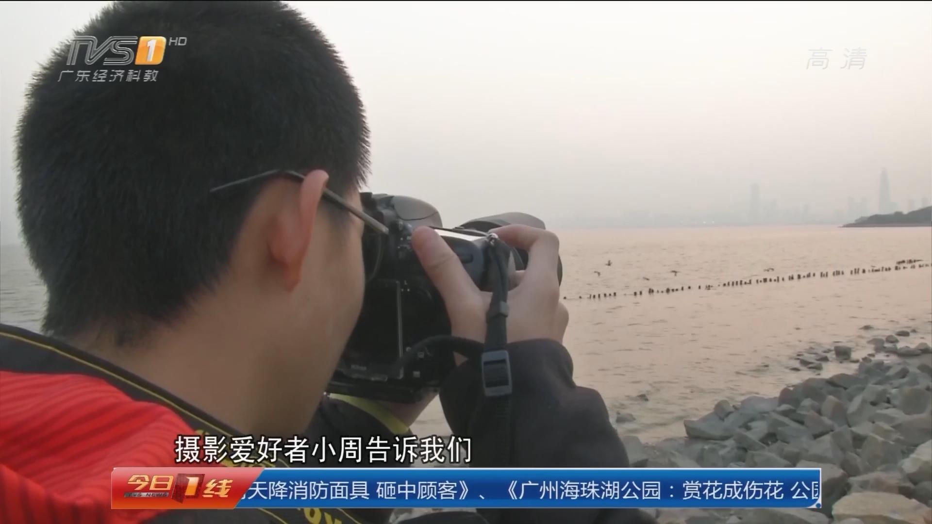 深圳南山:候鸟天团降临深圳湾 游客饱眼福