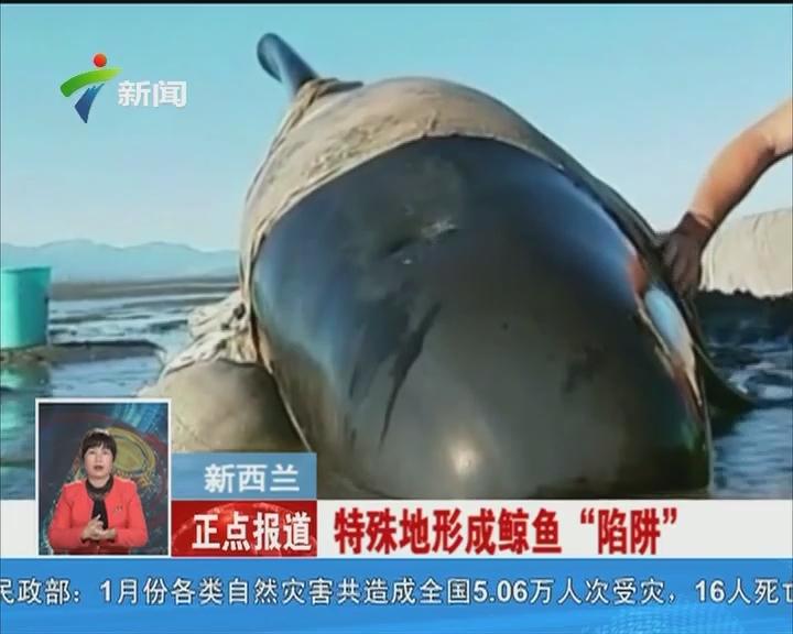 """新西兰:特殊地形成鲸鱼""""陷阱"""""""