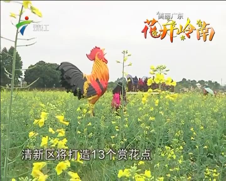 清新:金黄花海造黄金 乡村赏花助扶贫