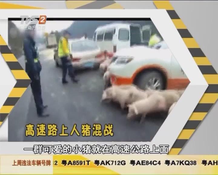 高速路上人猪混战