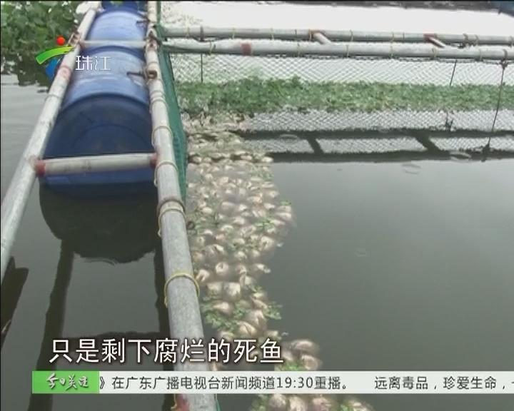 廉江:河水水质突变 十几万斤鱼死光光
