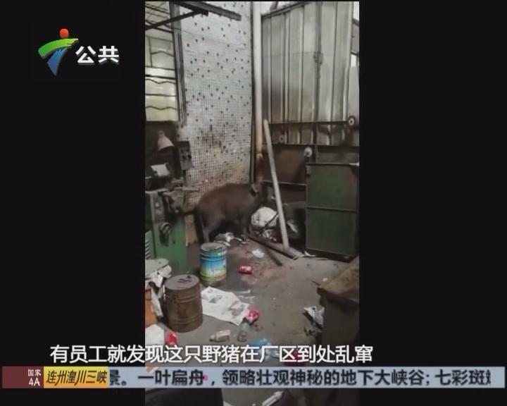 佛山:野猪闯入 警民合力制服无人受伤
