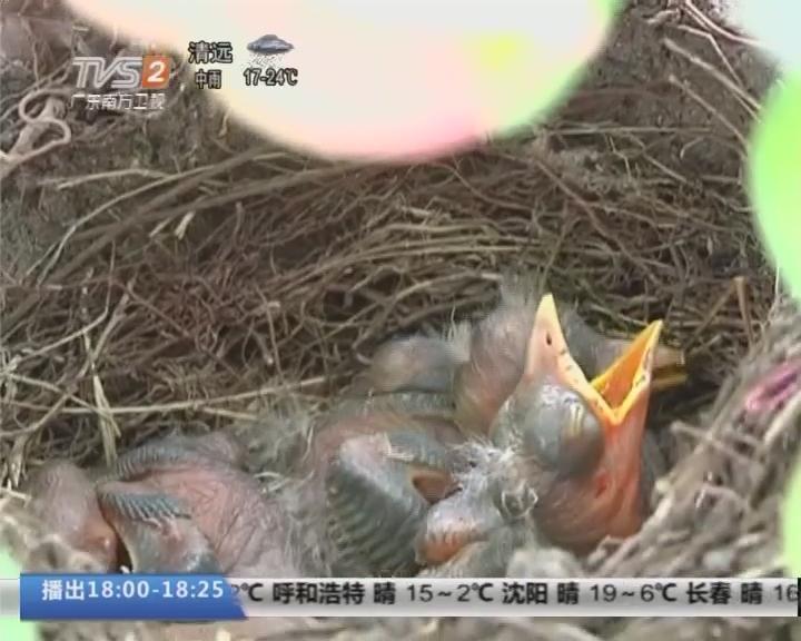 汕头:花盆筑巢 雏鸟破壳