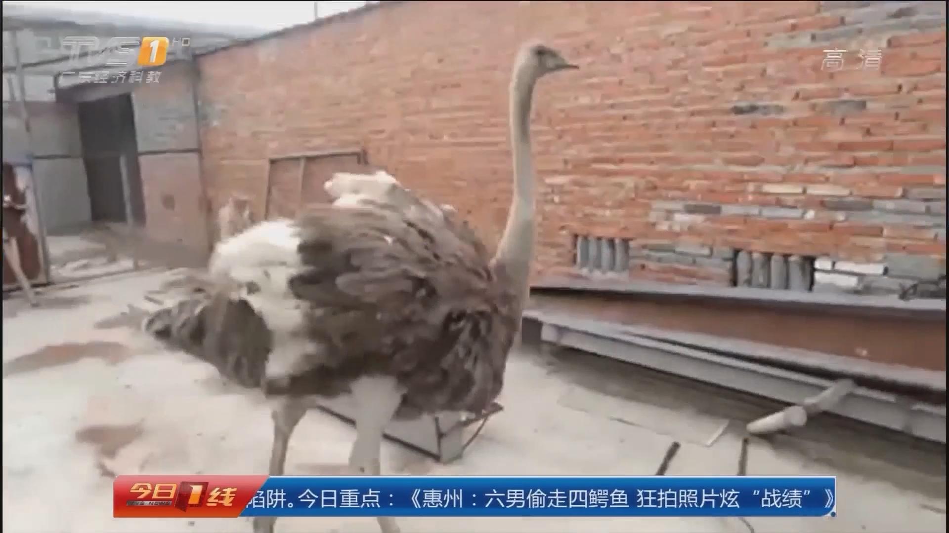 江苏泰州:舵鸟大街奔跑 上演《老炮》真实情节