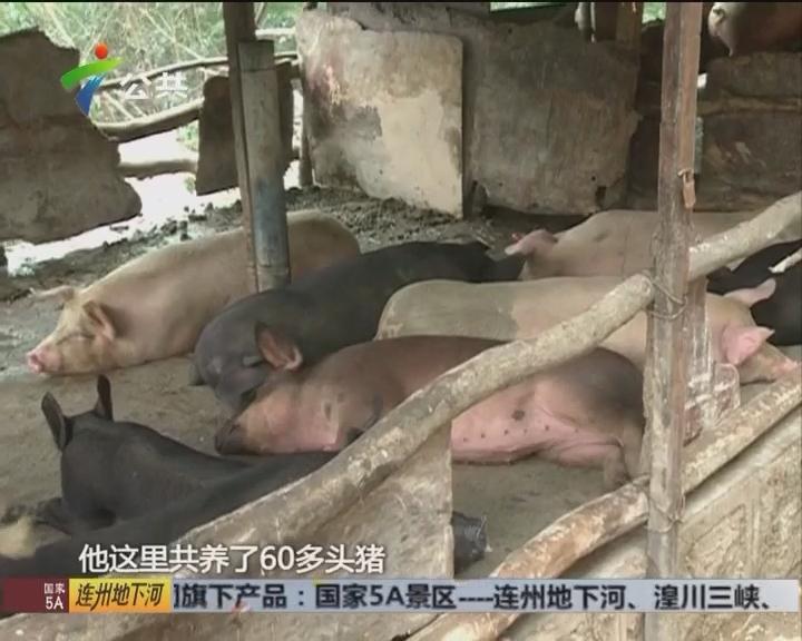 """记者调查:羊台山脚现""""养猪场"""""""