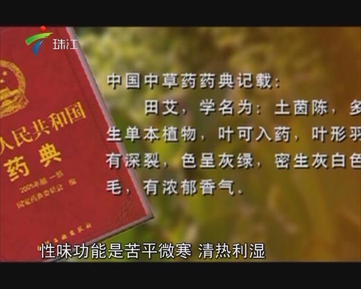 """中山:药食同源 四月""""吃田艾"""""""