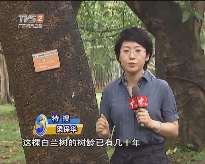 关注行道树:大榕树下岗 白玉兰上岗