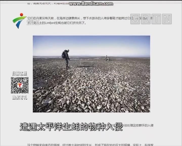 丹麦生蚝泛滥 中国网民笑了