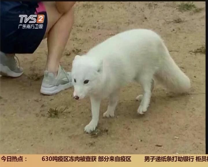 """佛山三水:大学校园惊现""""白狐""""?"""