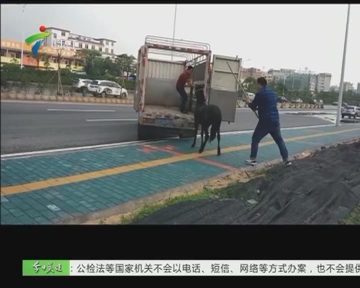 佛山:南海桂丹路上惊现奔跑的黑马