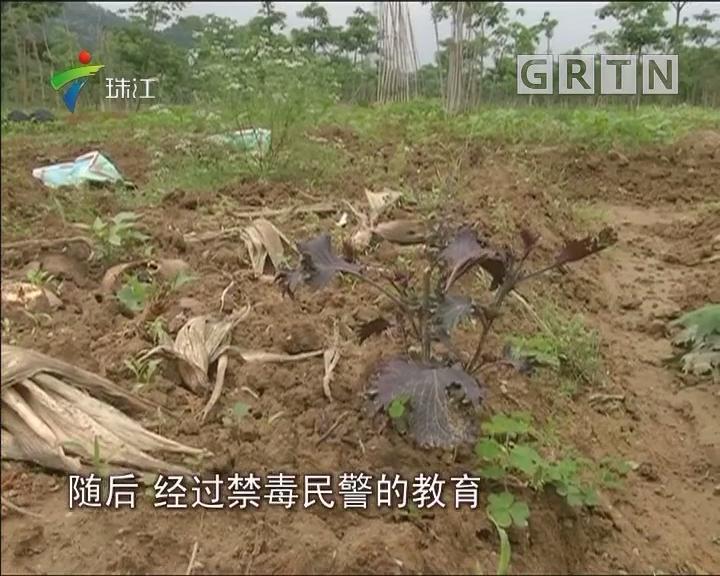 从化:有村民在农田中混种罂粟