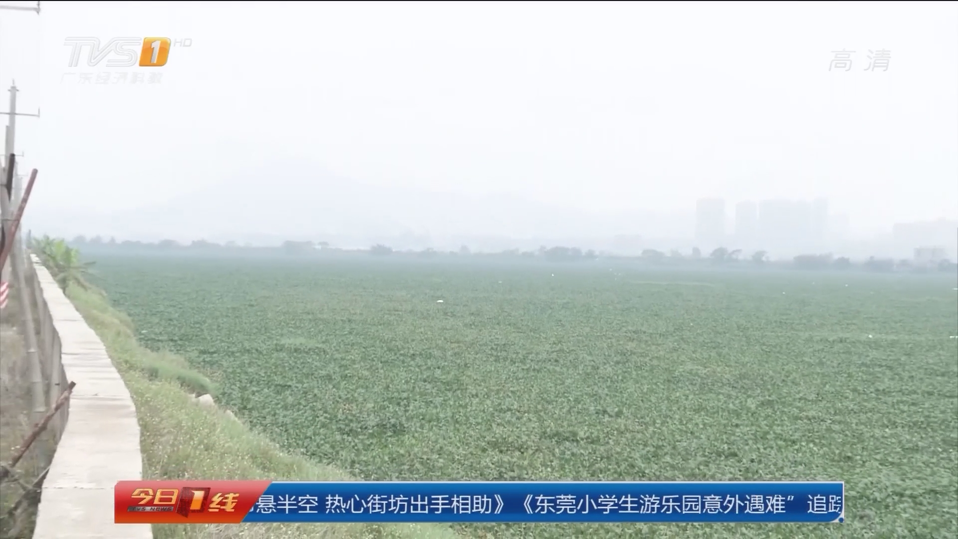 """汕头:练江爆发""""水浮莲""""江面成""""草原"""""""