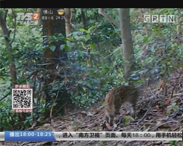 深圳塘朗山发现野生豹猫踪迹