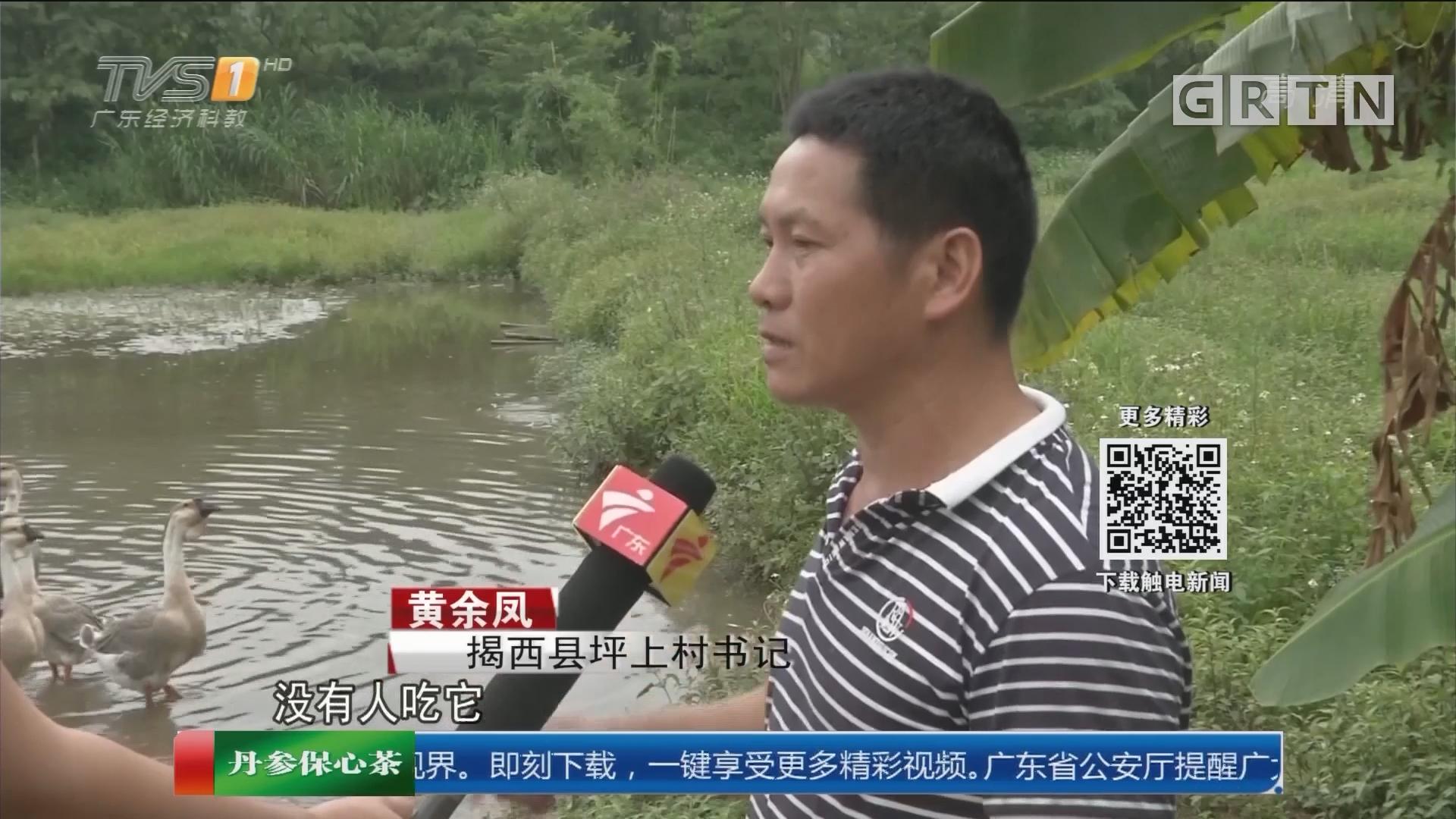 揭阳揭西:鸭子总不翼而飞 原来是大蟒蛇作怪