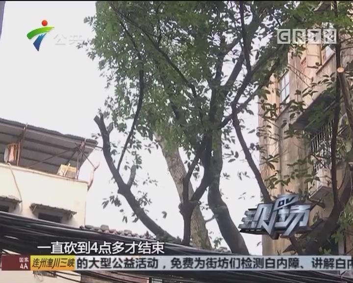 """广州:百年木棉树 现成""""光头佬"""""""