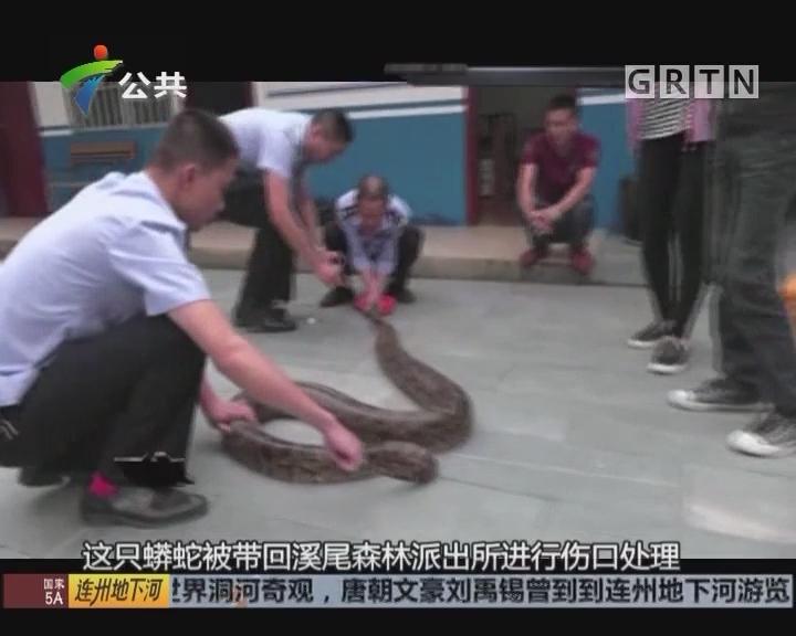 43斤大蟒蛇吃羊被缠 民警解救放归山林
