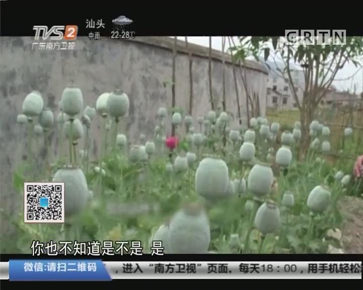 福建三明:老伯屋后种植7株罂粟 被警方抓获