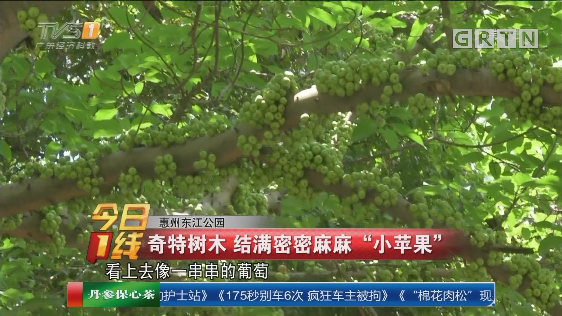 """惠州东江公园:奇特树木 结满密密麻麻""""小苹果"""""""