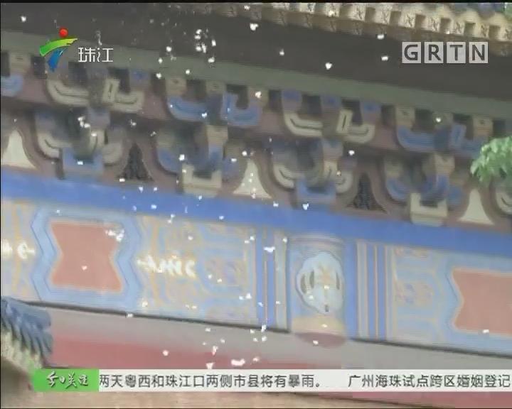 广州:棉絮纷飞似飘雪 过敏体质需远离